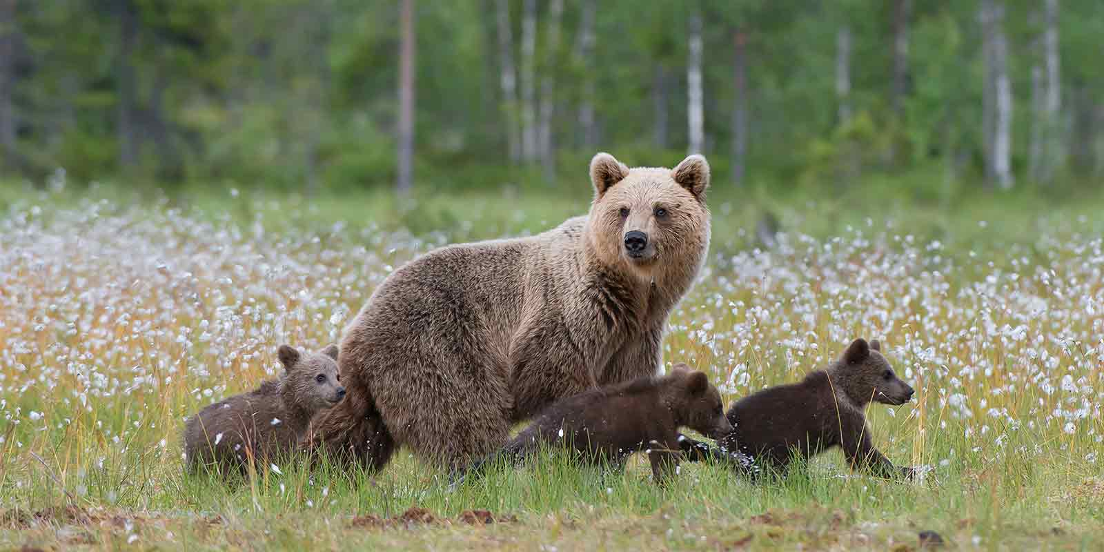 European brown bear and cubs walking through cotton grass in Finland forest