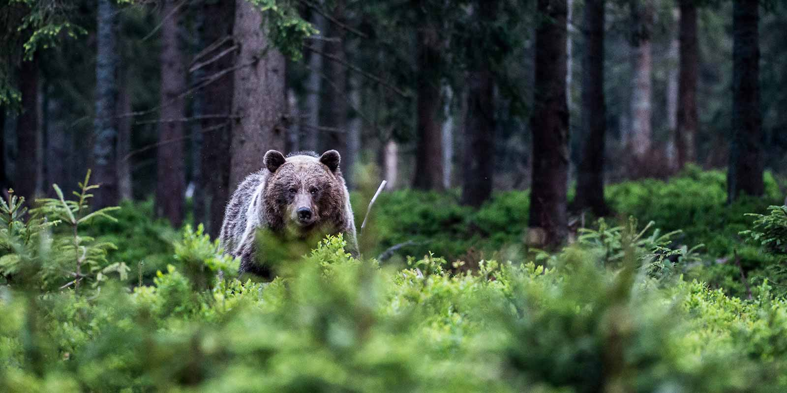 European brown bear in the forest