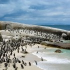 African penguin colony at Boulders Beach near Cape Town