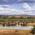 Buffalo at watering hole at Kruger National Park