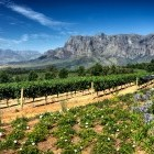 Vineyard in South Africa Stellenbosch district with Simonsberg mountain in background