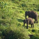 Aerial view of elephant anad her calf in Periyar Wildlife Sanctuary, India