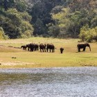 Herd of elephants beside the river in Periyar Wildlife Sanctuary, India