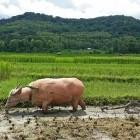 Water buffalo and rice farmer in Laos