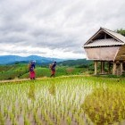 Hmong villagers in rice field in northern Thailand