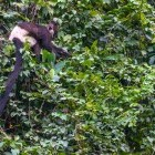 Endangered Delacour's langur in Van Long nature Reserve in Vietnam