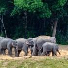 Wild elephants at a salt lick in Khao Yai National Park in Thailand