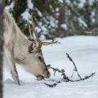 Reindeer in the snow in Finland