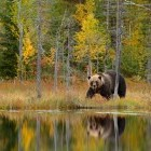 European brown bear by a lake in autumn