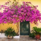 Traditional house with pink flowers above door in Corfu Greece
