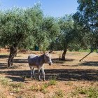 Donkey in an olive grove on the Greek island of Corfu
