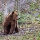 European brown bear in the Fagaras mountains of Romania