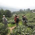 Trekkers amongst tea plantation in Darjeeling