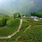 Scenery of tea plantations in Darjeeling