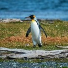 King penguin near Beagle Channel, Argentina