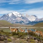 Guanacos in Torres del Paine National Park