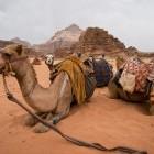 Camels resting at Wadi Rum desert in Jordan
