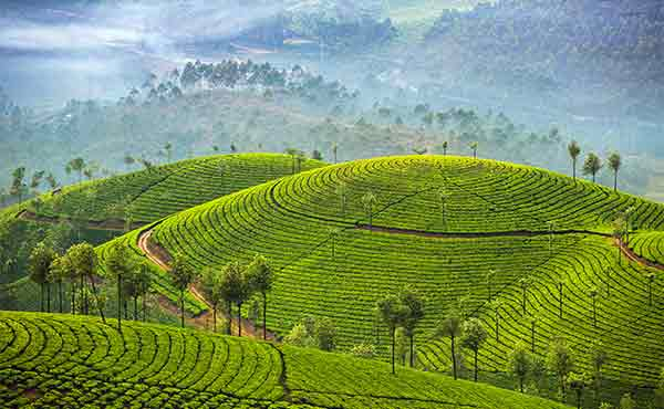 Scenery of tea plantations in Munnar, Kerala