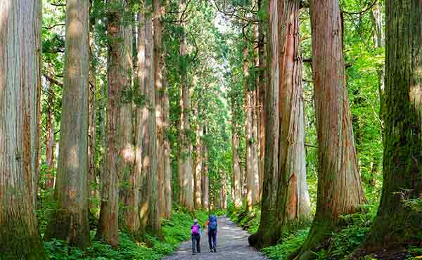 Cedar trees and walkers on Togakushi ancient trail