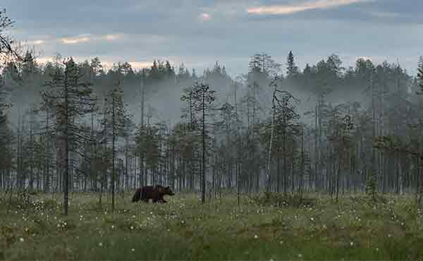 Brown bear in the Taiga forest of Finland at twilight